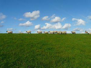sheep-57706_960_720